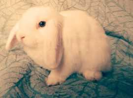 Stunning Mini Lop buck
