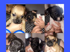8 stunning frenchie x puppies for sale