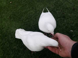 White fancy birds