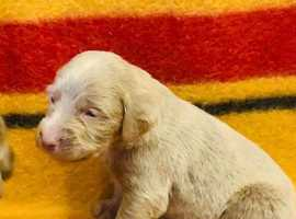 KC registered long and short haired pups.