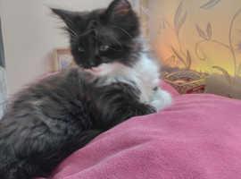 Kitten 10 weeks old