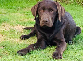 Two male Chocolate Brown Labrador