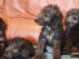 Beautiful Bedlington Terrier Pups For Sale