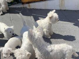 Westie Puppies KC Registered