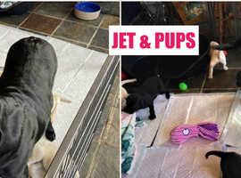 superb KC registered labrador pups health tested parents