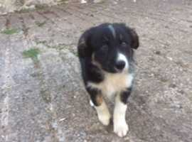 Farm Collie Puppies