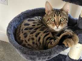 **MISSING YOUNG BENGAL CAT**