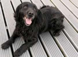 cocker spaniel male