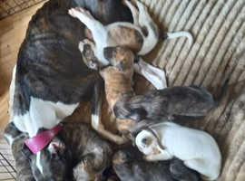 8 bullgreyhound Cross saluki pups 3 girls 5 boys