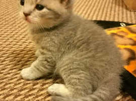 British shorthair Boy