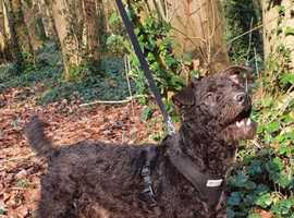 Patterdale terrier for stud