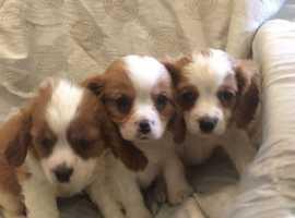 stunning cavalier king charles puppies