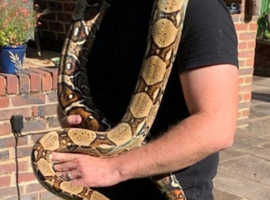 Beautiful 8ft Boa Constrictor