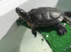 Turtles free to good home