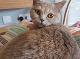 Cream British short hair cat