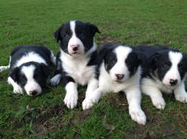 Border Collie Puppies Outstanding Quality!!