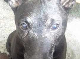 *WANTED* Patterdale Terrier. West Yorkshire area