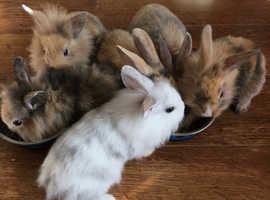 Lionhead x rabbits