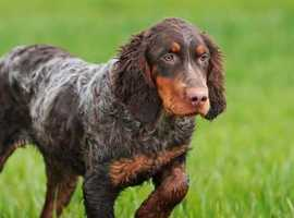 Wanted Picardy Spaniel Puppy