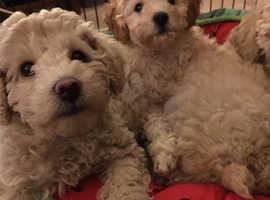 miniature poodle pups