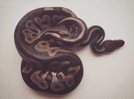 Female Cinnamom Leopard Ball Python