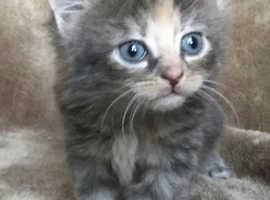 Maine Coon Female Kitten
