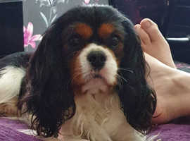 Reservation for cavalier pups