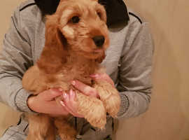 Health tested cockapoo puppies