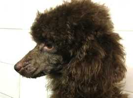 Toy poodle solid chocolate KC reg. PRA clear. At stud.