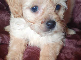 Gorgeous pugapoo puppies for sale.