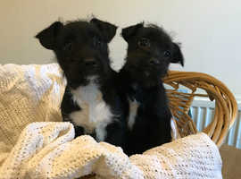 Jack Russell x Yorkshire terrier boy pups