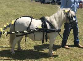 Ride and drive Shetland gelding