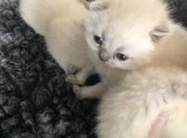Gccf registered kittens