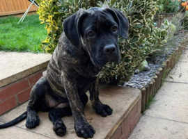 Cane corsos female 6 months old