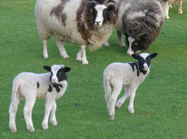 Free to Good Home - Small Flock of Jacobs Sheep