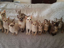 Asian Kittens Available Mid July