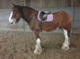 CLYDESDALE FOALS FOR SALE