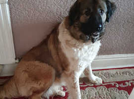 Caucasian sheepdog x King german shepherd puppies