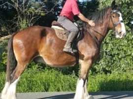 Big gentle giant shire gelding
