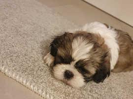 PRICE REDUCED!!Beautiful KC Registered Shih Tzu Puppy