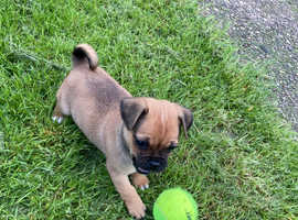 12 week old jug pup for sale