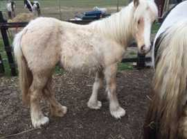 Traditional cob palomino yearling filly to make 13.2