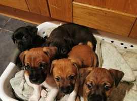 Jack Russell x Lakeland terrier