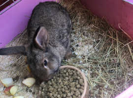 1 Male rabbit