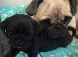Kc reg pug puppies