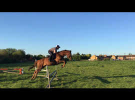 Perfect Gentleman 16hh Thoroughbred Chestnut Gelding 11 years olk