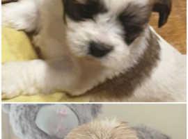Malshi Maltese x shihzu puppies