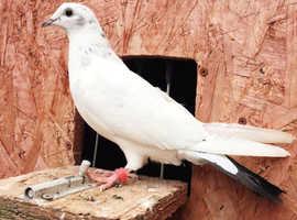 Pakistani highflyer Pigeons **QUICK SALE**