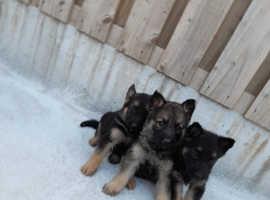 4 lovely German shepherd puppies