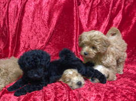 F1 FrenchBoodle Toy Poodle x French Bulldog pups for sale!